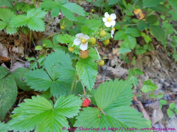 Photo of wild strawberries.