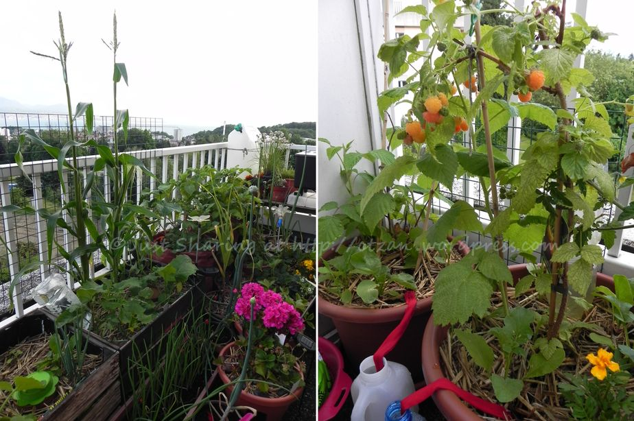 Balcony Garden Update In Absentia Of The Chief Gardener