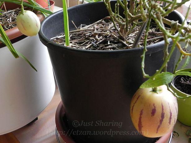 DSCN4944.jpg pepino melons