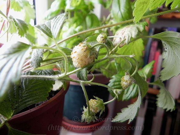 DSCN4949.jpg White strawberries