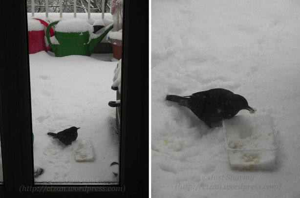 Our winter visitor helping itself to free food, 7 December 2012