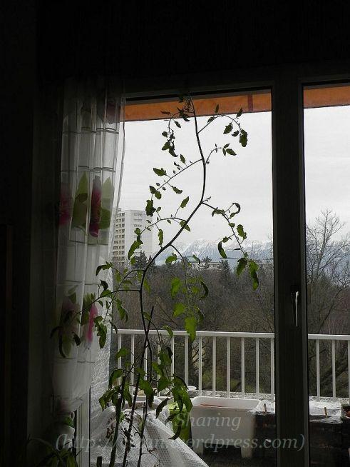 DSCN4941.jpg Tomato plant