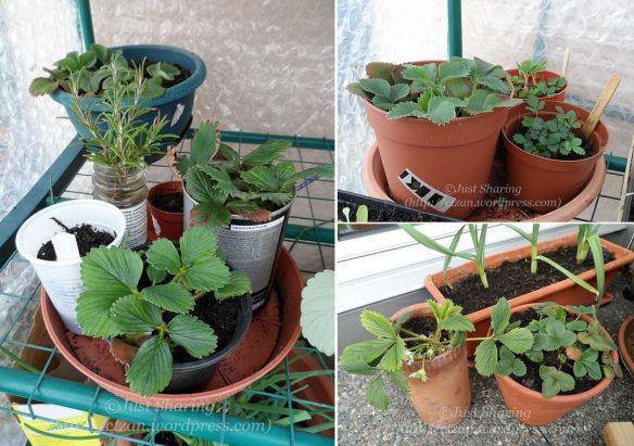 Strawberry runner plants
