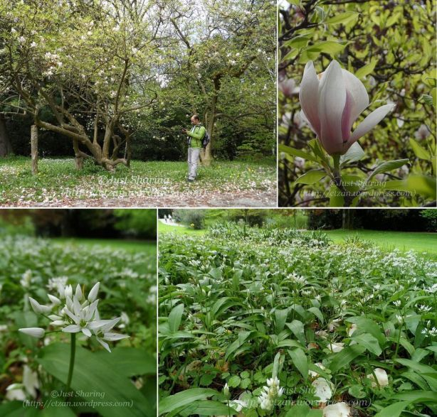 Magnolias and wild garlics