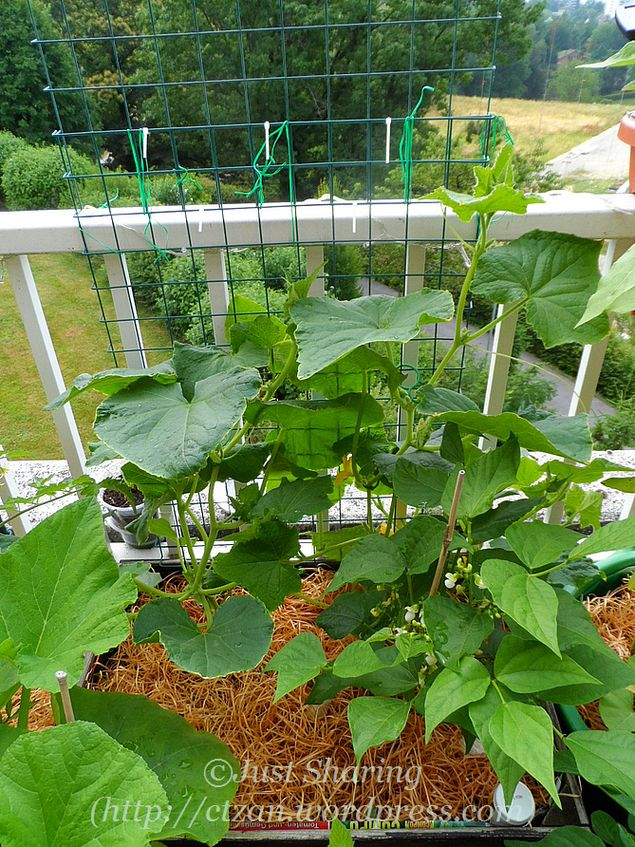 Balcony Garden In July Cucumbers Just Sharing