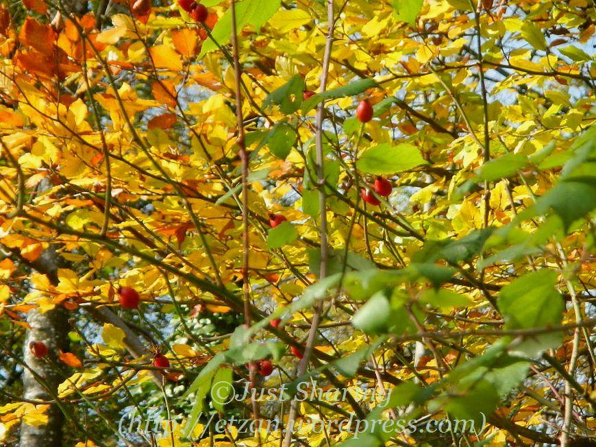 Hawthorn Tree Thorns Fruiting Hawthorn Tree