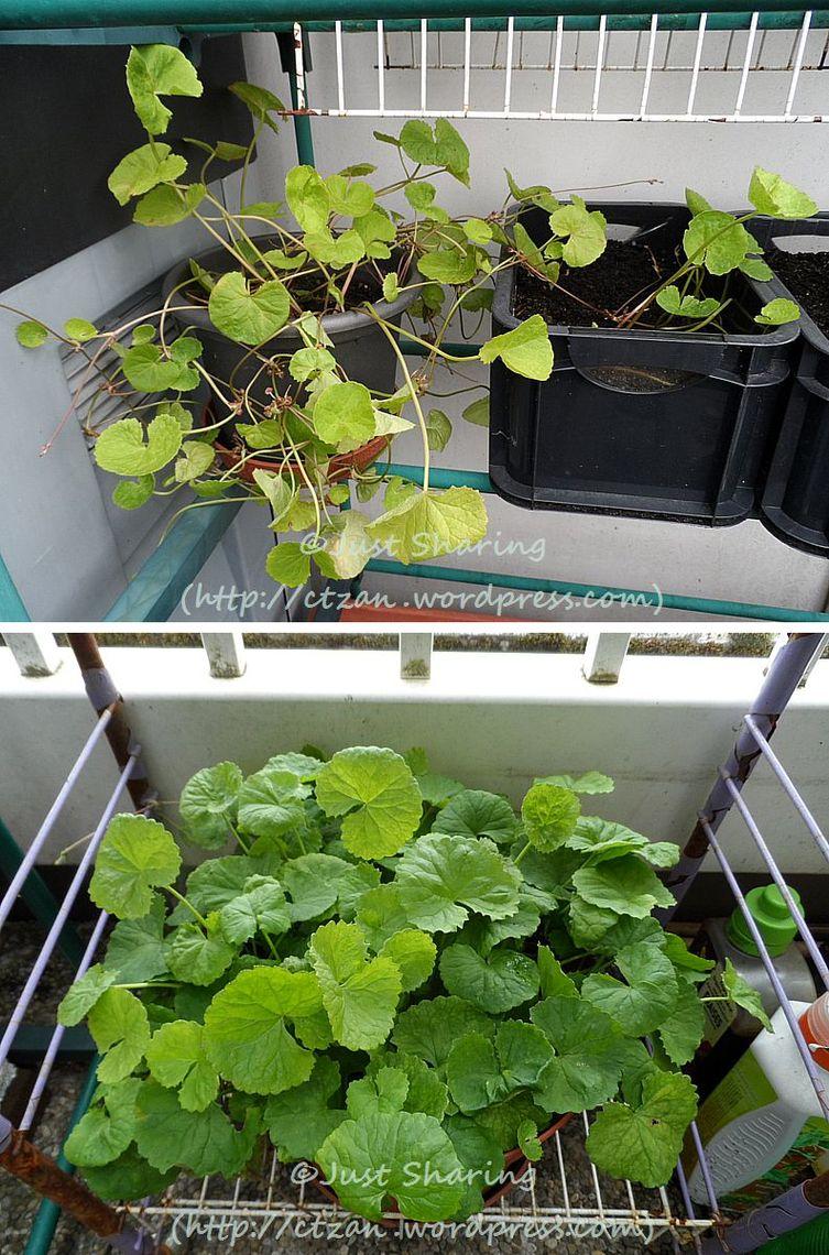 Centella asiatica выращивание 99